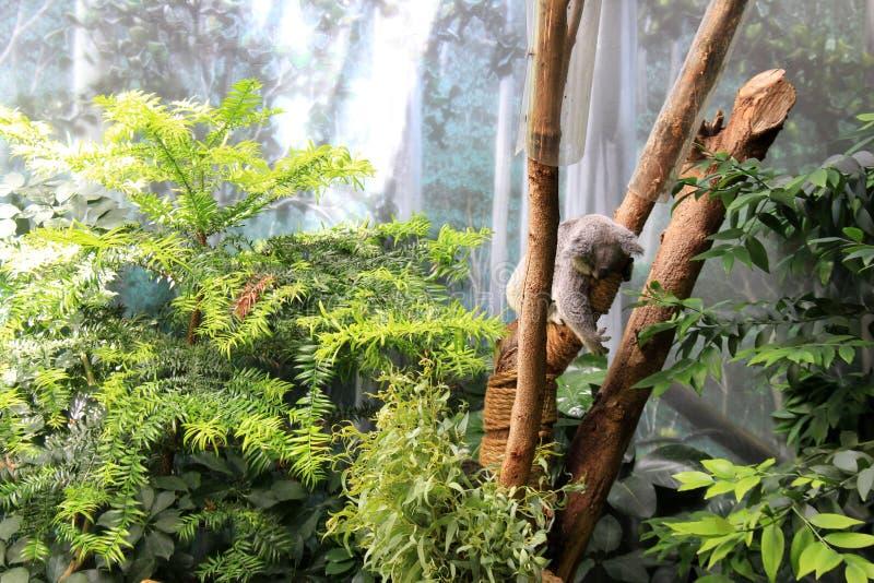 Härlig bild av koalan i träd, Cleveland Zoo, Ohio, 2016 arkivbilder