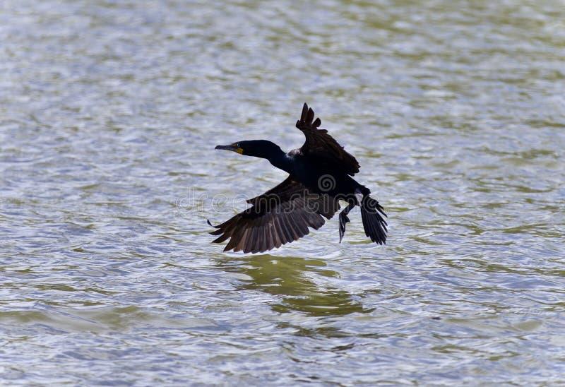 Härlig bild med en kormoran som landar till sjön arkivbilder