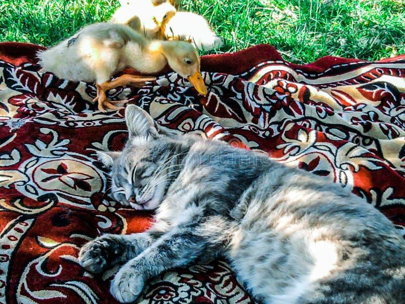 härlig bild Sova katten och ankungen som blev intresserad i katten royaltyfri bild