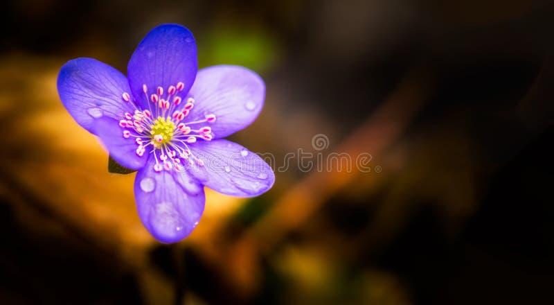 Härlig blå anemonblomma i vårskog royaltyfri foto