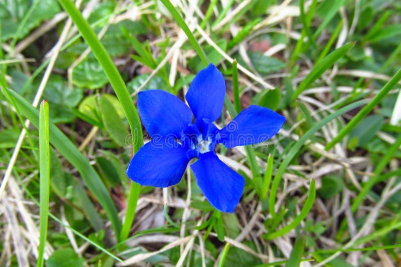 härlig blå blomma royaltyfria foton