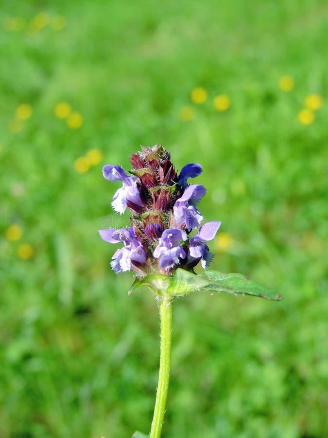 härlig blå blomma arkivbilder