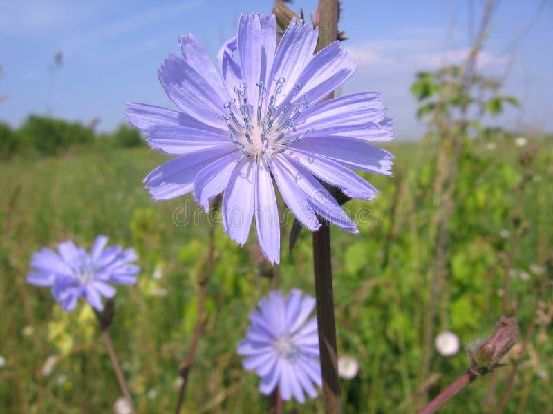 Härlig blå cikoriablomma i det ljusa gräset royaltyfri bild