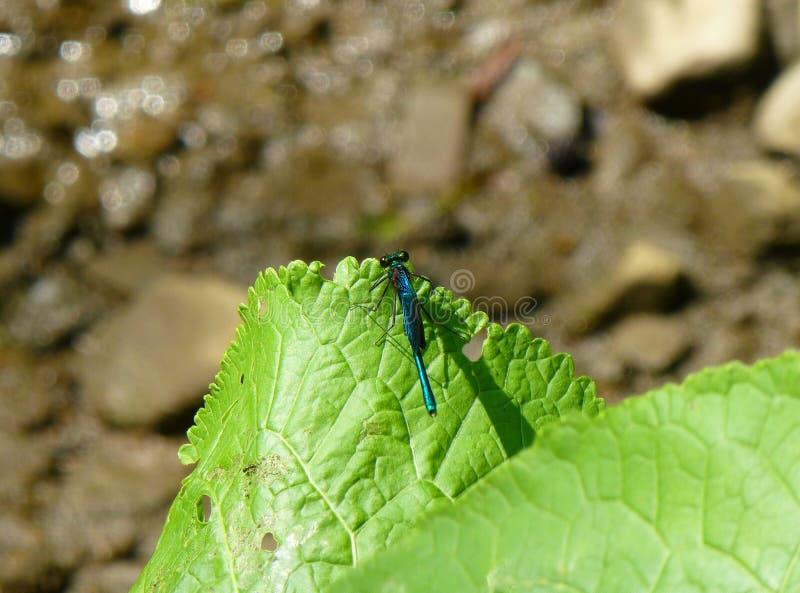 Härlig blå damselfly som vilar på ett grönt blad royaltyfria bilder
