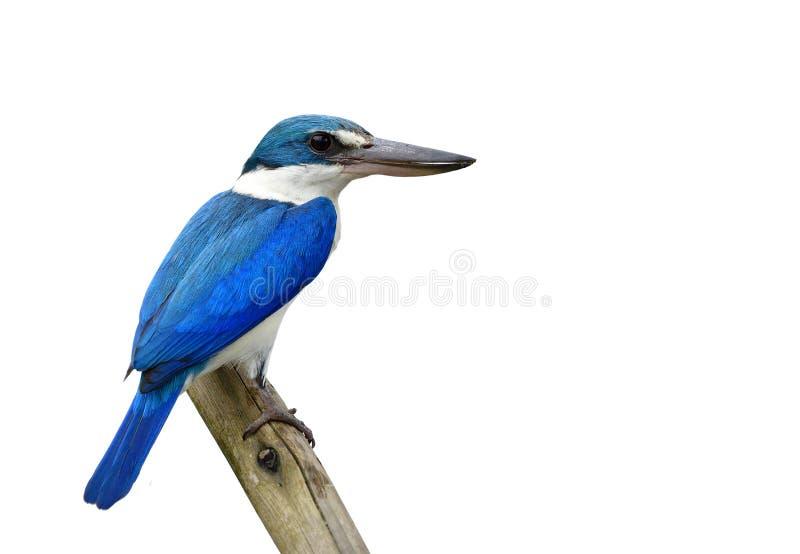 Härlig blå fågel som isoleras på vit bakgrund, försedd med krage kungsfiskare & x28; Todiramphus chloris& x29; arkivbild