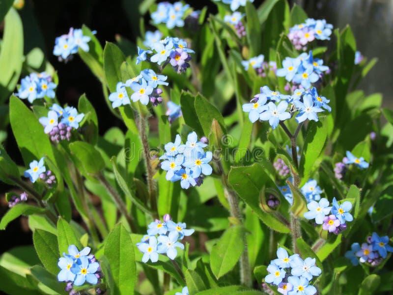 Härlig blå förgätmigejblomma i sommar arkivbilder