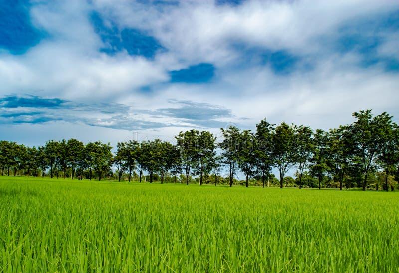 Härlig blå himmel över risfältet och träd arbeta i trädgården, det organiska lantbruket i bygden royaltyfria bilder
