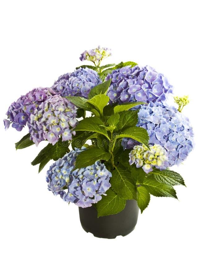 härlig blå hortensiapurple royaltyfri fotografi