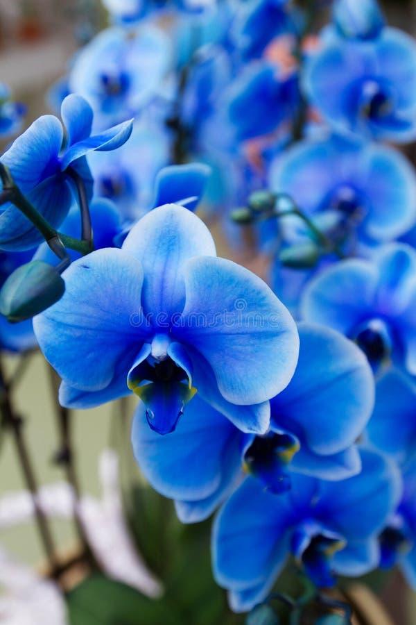 Härlig blå orkidé på blomsterutställning royaltyfri bild