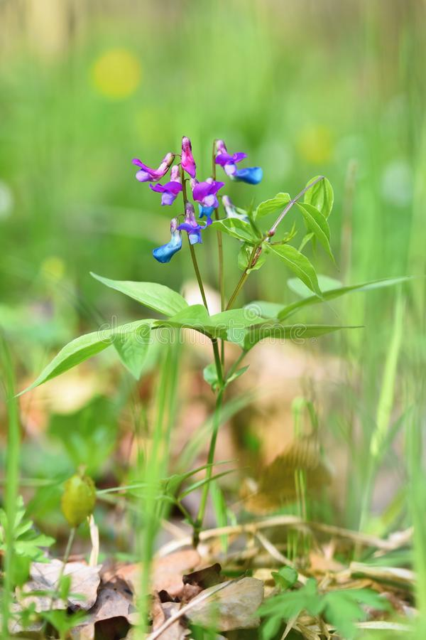 Härlig blått-violett blomma i en skog på en grön naturlig bakgrund VårPea Lathyrus vernus royaltyfri fotografi