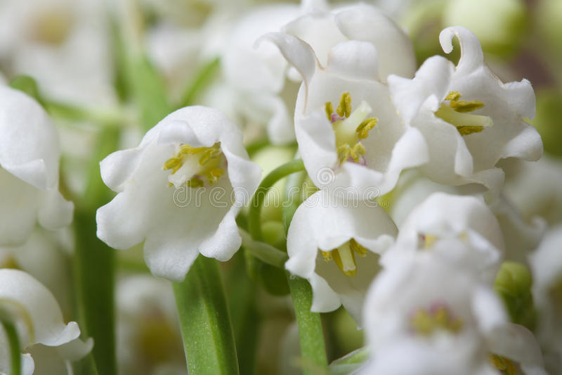 Härlig blom- bakgrund av blommaliljekonvaljen royaltyfri bild