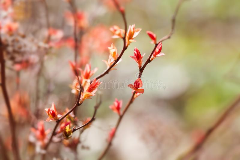Härlig blom- bakgrund för vårtid Trädfilial med att blomstra röda rosa färgsidor makrobildväxt, solig dag in arkivfoton
