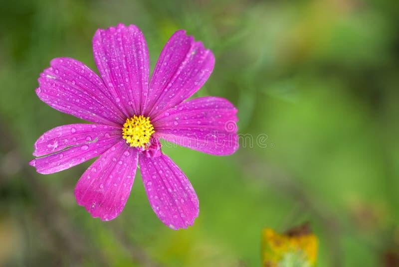 Härlig blom- bakgrund, försiktig violett blomma med daggdroppar på kronblad, hälsningkort för 8 kvinnas för marsch concep för spå arkivfoto