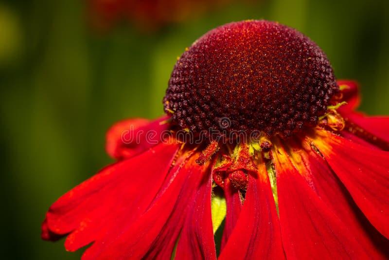 Härlig blomkrona av ett rött slut för tusenskönablommamakro upp bild royaltyfria foton
