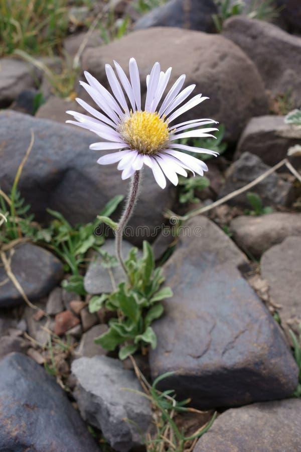 Härlig blomma av den nordliga Pamirsen royaltyfri bild
