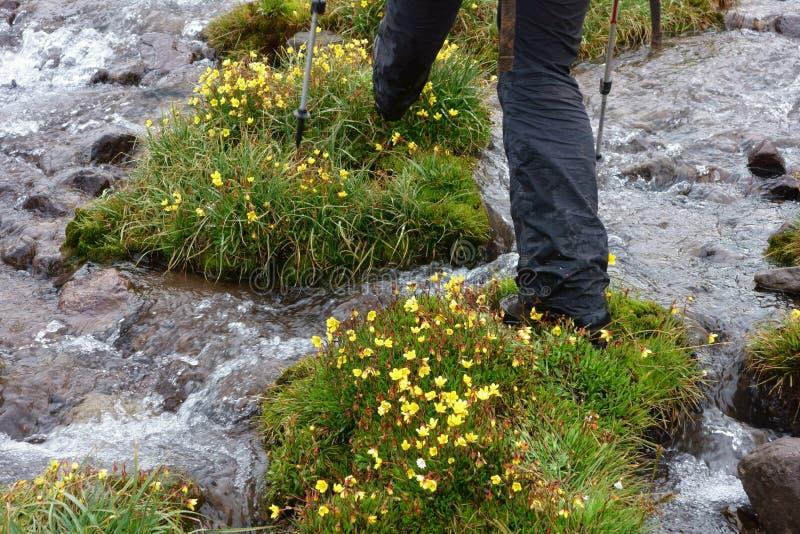 Härlig blomma av den nordliga Pamirsen arkivfoton