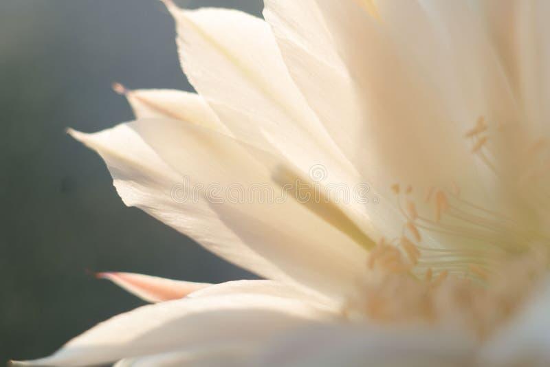 Härlig blomma av en blomningkaktus på rensning royaltyfri bild