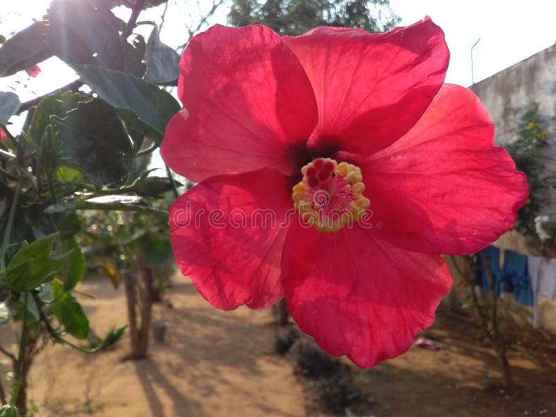 Härlig blomma av Indien arkivfoton