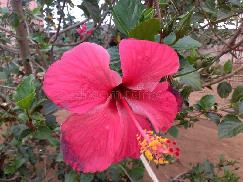 Härlig blomma av Indien arkivbild