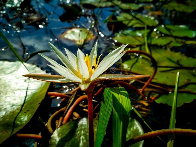 Härlig blomma av Lotus royaltyfri foto