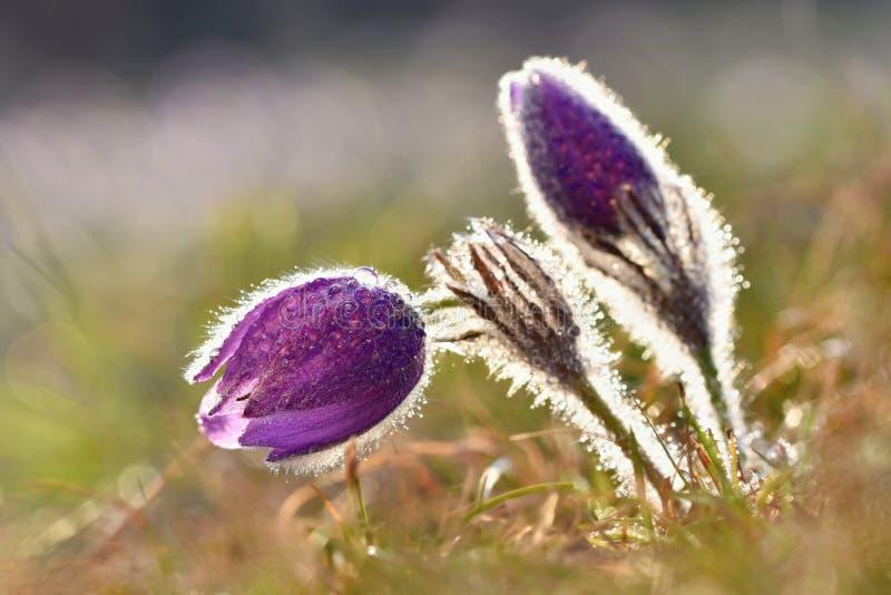 härlig blomma blommafjäder Naturlig kulör suddig bakgrund (Pasque Flowers - Pulsatillagrandis) royaltyfri foto