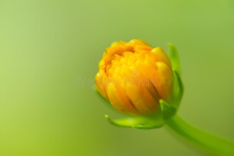 Härlig blomma, Calendula, gula kronblad, tusenskönaväxt på grön bakgrund arkivbild