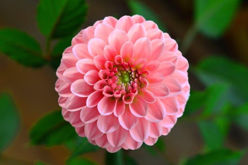 Härlig blomma för Ñ-hrysanthemum som blommar i trädgården Närbild Makro Bo korall - färg av året 2019 royaltyfria foton