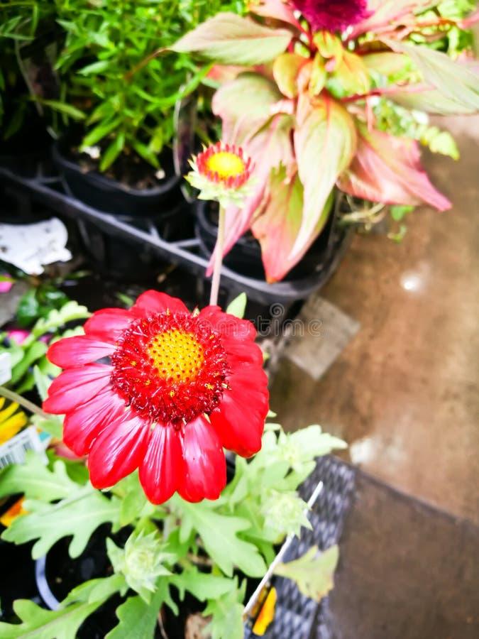 Härlig blomma för gaillardia`-Mesa Red ` i en vårsäsong på en botanisk trädgård arkivbilder