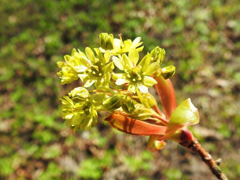 Härlig blomma för lönnträd i våren, Litauen royaltyfri fotografi