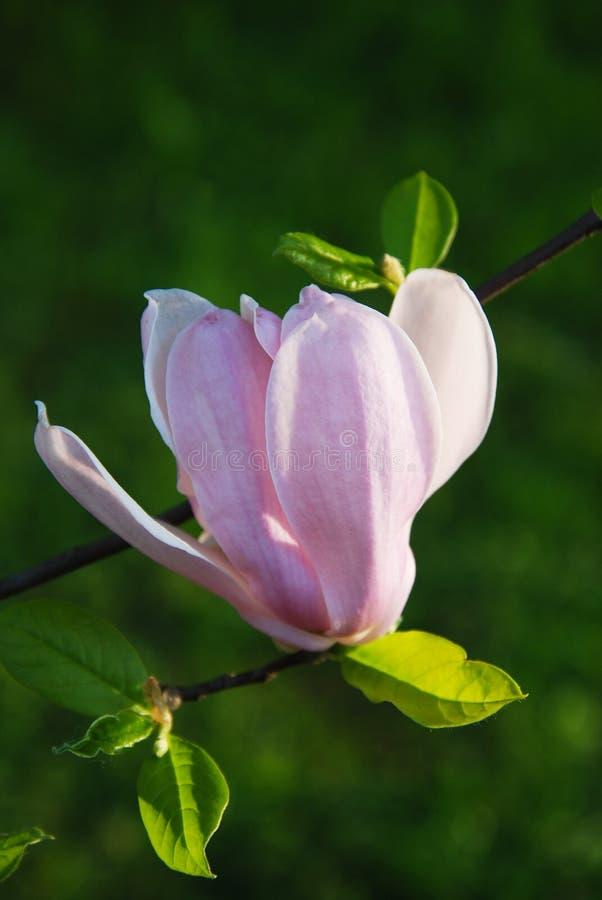 Härlig blomma för magnolia för magnoliablommamagnolia royaltyfria bilder
