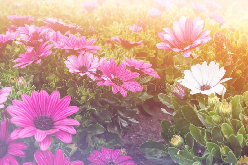 Härlig blomma 'för purpurfärgad fanfar' i en äng, ljus tappning royaltyfri bild