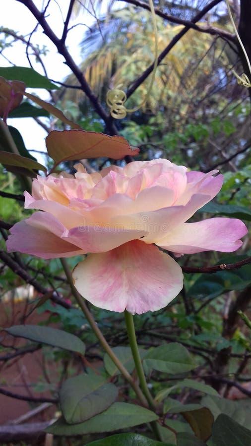 Härlig blomma för rosa färgblandningros av Sri Lanka royaltyfri foto