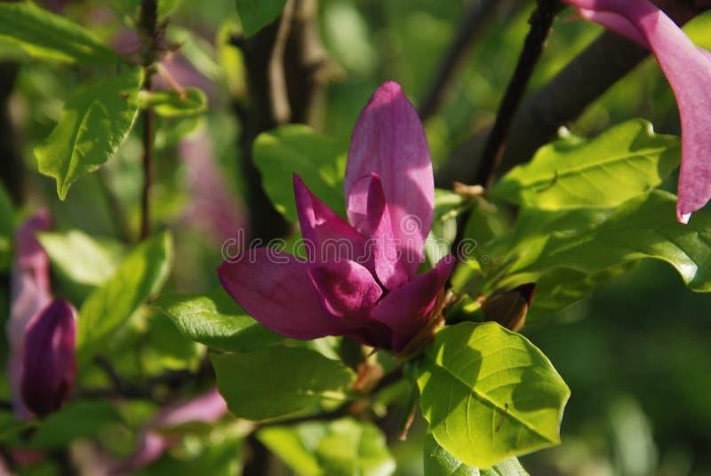 Härlig blomma för träd för blomma för tid för sommar för magnoliablommamagnolia arkivbild