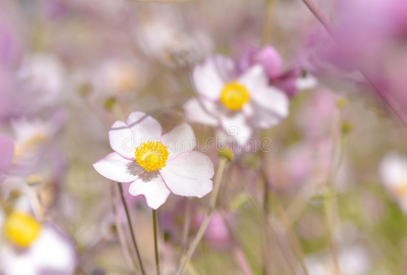 Härlig blomma för vit- och lilaanemonnemorosa royaltyfri bild