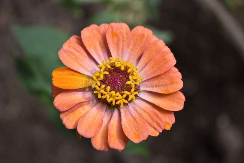 Härlig blomma med orange kronblad royaltyfria bilder