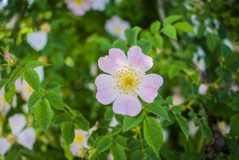 Härlig blomma som blomstrar rosa höfter mot den blåa himlen royaltyfri fotografi