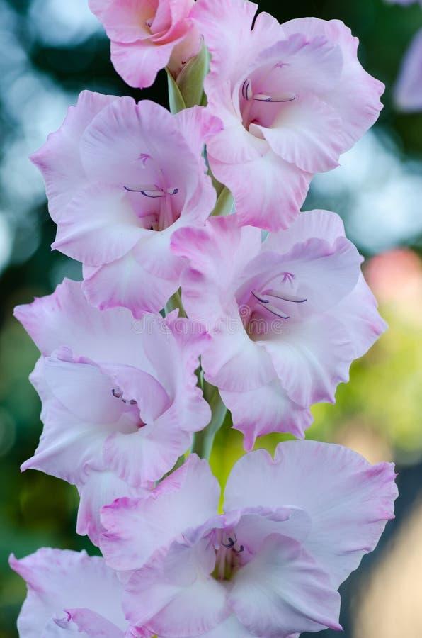 Härlig blommabakgrund, gladiolusvit och rosa färger blommar makroskottet arkivbild
