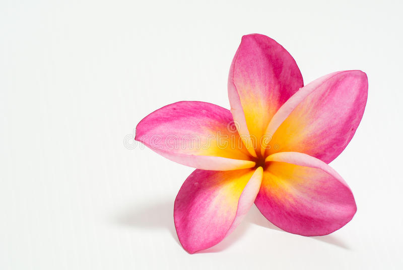 härlig blommafrangipani royaltyfria bilder