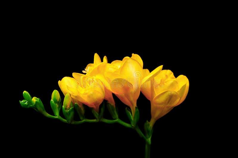 härlig blommafreesia arkivfoto