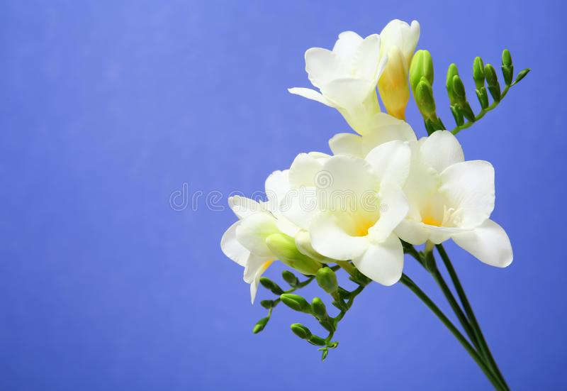 härlig blommafreesia royaltyfri foto