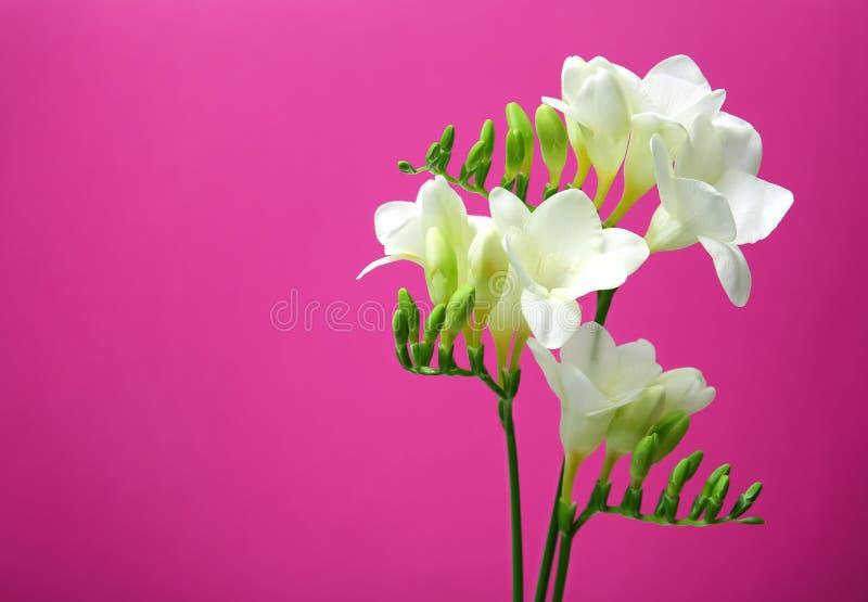 härlig blommafreesia royaltyfria bilder