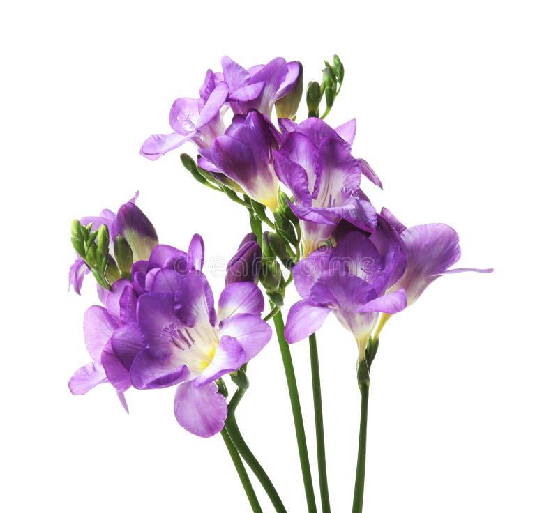 härlig blommafreesia royaltyfri bild