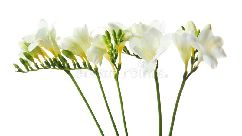 härlig blommafreesia arkivbilder