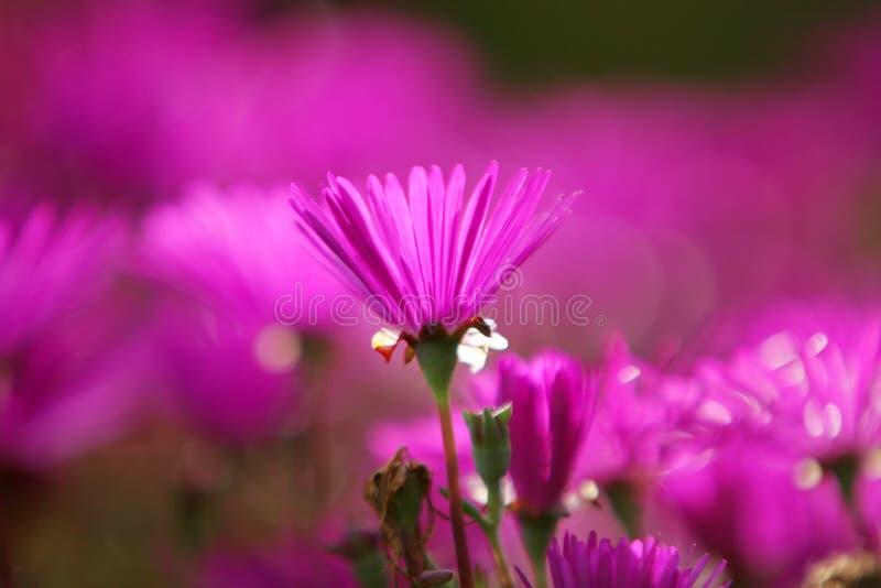 härlig blommafuchsiapink arkivfoto