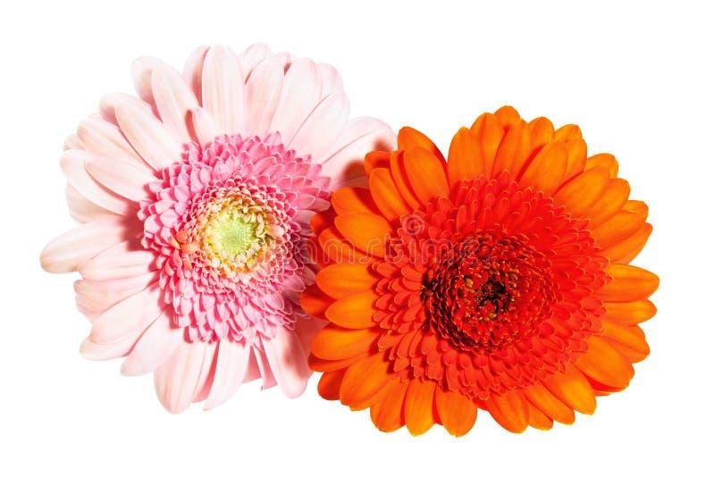 Härlig blommagerbera royaltyfria bilder