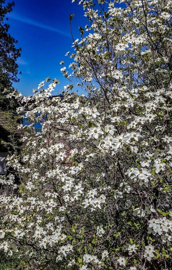 Härlig blommande bergskogskornell med vita blomningar arkivfoto