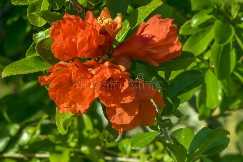 H?rlig blommande blom- bakgrund f?r granat?pplebuske eller f?r tr?dv?r royaltyfri foto