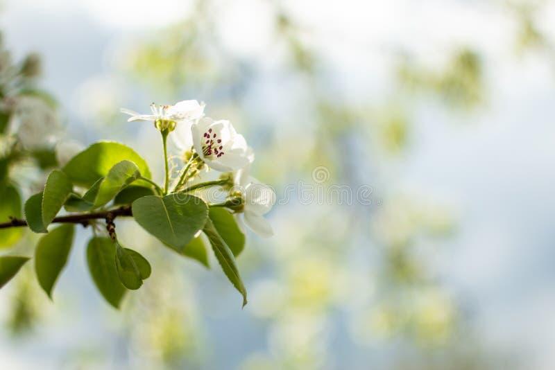 Härlig blommande filial av det trädgårdApple trädet med härliga vita blommor arkivfoto