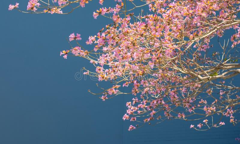 Härlig blommande jakaranda på en fast cyan bakgrund Stort kopieringsutrymme för ett baner, befordrings- meddelande fotografering för bildbyråer