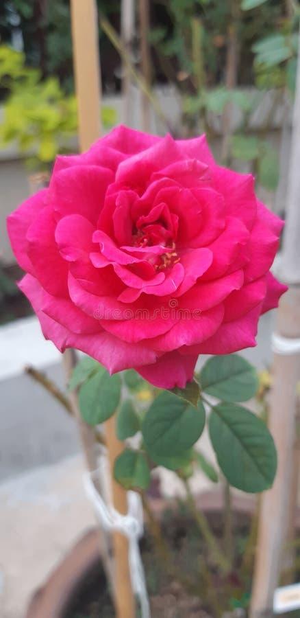 Härlig blommande ljus röd ros royaltyfri fotografi